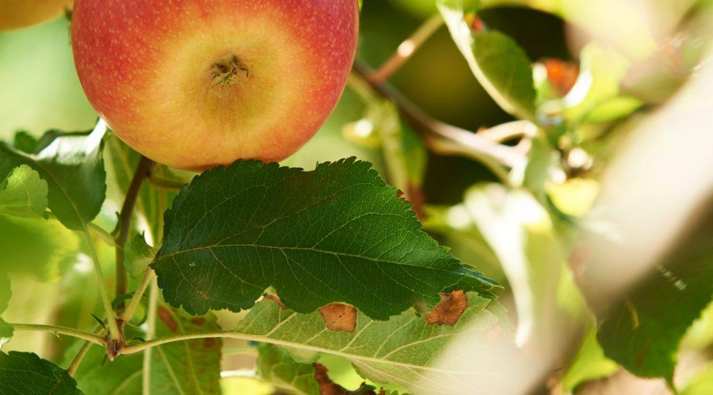 manzana-pinklady-mercafruta